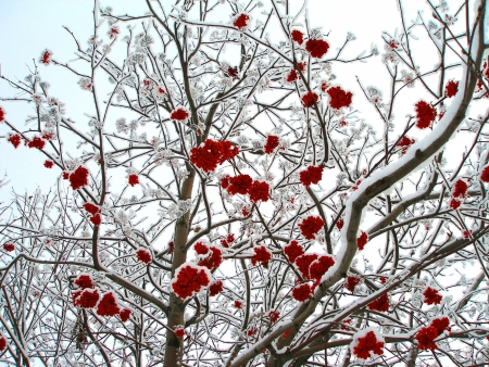 Mountain ash, branches and clusters of berries on snow. Winter, Novosibirsk, Russia
