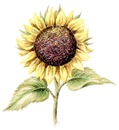 Sunflower. Picture, pastel, hand-draw on white paper Stock Photo