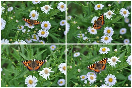 Butterfly eats nectar of garden camomiles  July, the Central Russia Stock Photo - 12467301