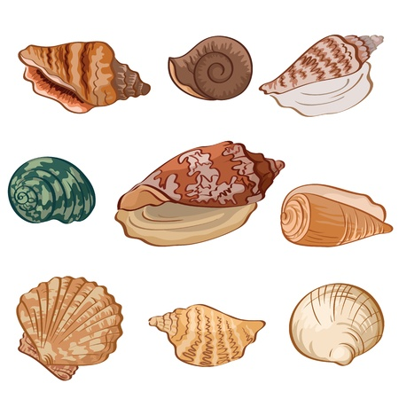 Set different seashells isolated on white background  Vector