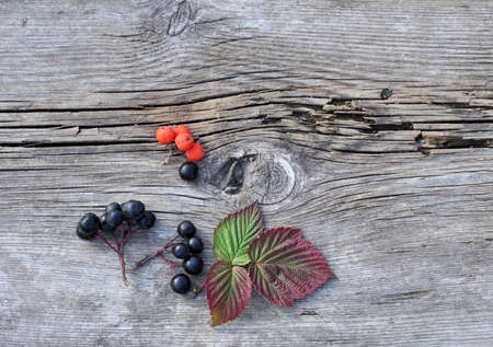 rowan tree: Autumn Raspberry Leaves and Rowan Tree and Aronia Berries on the Old Board