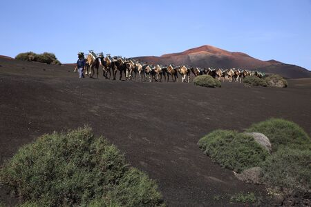 camels: camels on lava Stock Photo