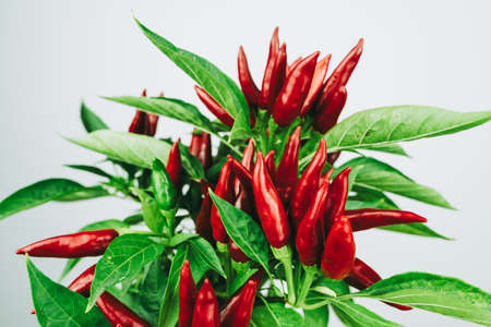 Chili pepper saltillo (Capsicum annum) plant, with lots of chilis on it. Ripe red hot chili peppers on a plant. White background. Close up photo.