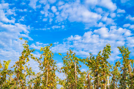 Grapevines shot from low angle. Beautiful blue cloudy sky in the background.