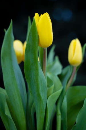 A bouquet of yellow tulips (Tulipa gesneriana L.) with dark background.