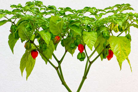 Trinidad Moruga Scorpion (Capsicum chinense) fully grown plant. With ripe and unripe peppers on the chili plant. Red, orange and green color peppers. White background. Stock Photo
