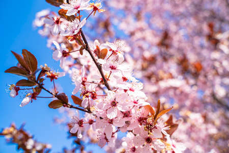 Pink flowers of a blooming Prunus serrulata or cherry blossom tree. Blue sky in the background. Close-up photo.