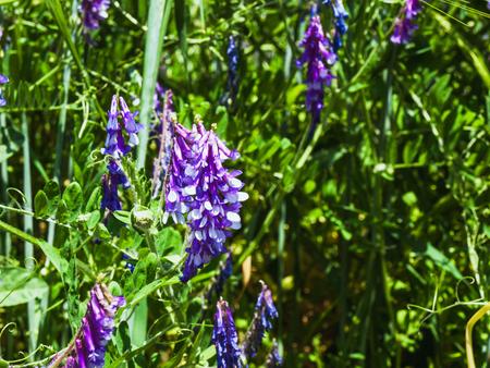 White-purple flowering alfalfa in a green field