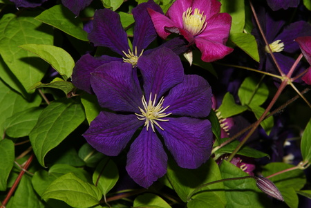 Beautiful lilac clematis lurking in the green foliage waiting for the butterfly in the summer garden Archivio Fotografico - 98440618