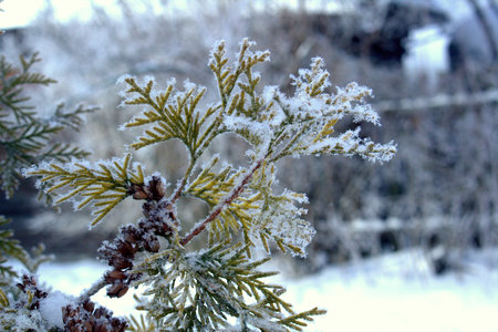 Snow-covered golden larch on a frosty winter day