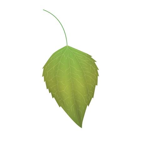 Green leaf isolated on white background Illustration