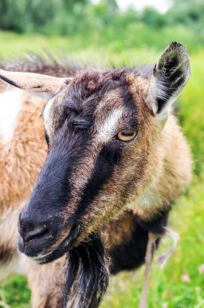 he goat: Horned goat  Stock Photo