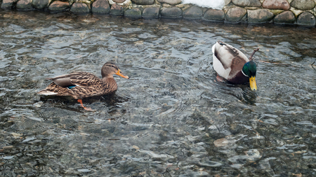 Photo of an animal a wild drake and a duck sail on a city pond.
