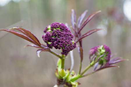 Purple color pleases the eye with juicy young foliage and flowers in the spring forest.