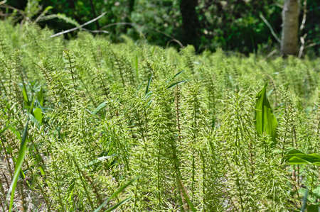 thicket: A thicket of horsetail on the glade resembles a forest massif, only in a miniature form.