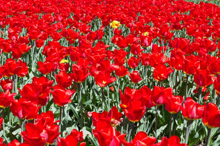 bulb fields: A bright view of the glade of flowering tulips, will be an excellent solution for decorating a postcard or background. Stock Photo