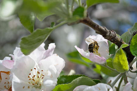 The bee collects the nectar from the spring flowers of the apple tree.