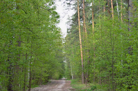 The forest road in the spring forest is especially beautiful in young and bright greenery. Фото со стока