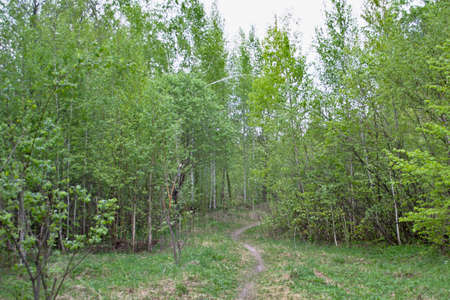 The forest path in the young birch forest is full of bright young greenery.