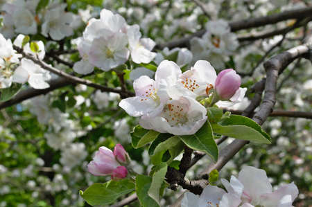 He's great on a spring theme. Close-up photography of the apple blossom on a spring day.