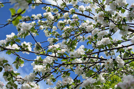 Blooming of apple blossoms looks great against the blue spring sky. Standard-Bild