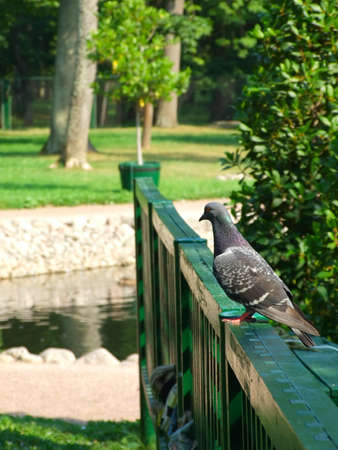 Pigeon on a handrail in park against a pond and a lawn