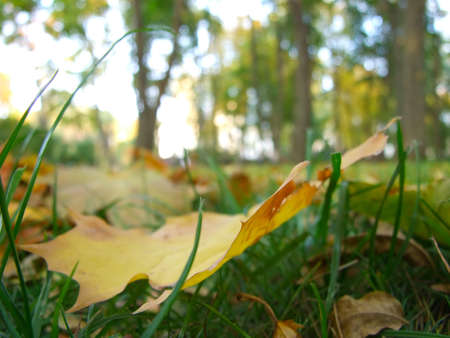 The fallen down yellow maple leaf in park photo