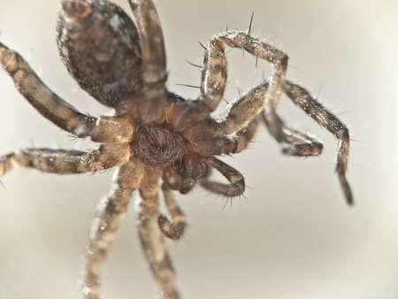 arachnoid: Macro Photo of a paunch of a small spider, soft focus