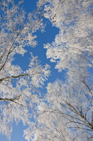 Branches of birches in the frost against of a clear blue sky photo