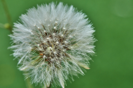 Bloomed dandelion in nature grows from green grass. Old dandelion closeup