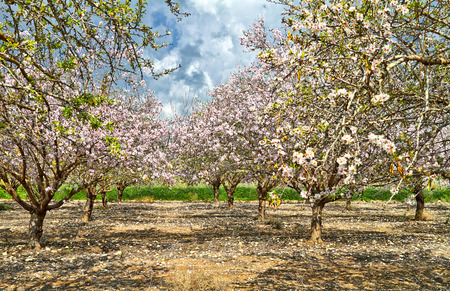Flowering almond trees in the countryside of Israel Stockfoto