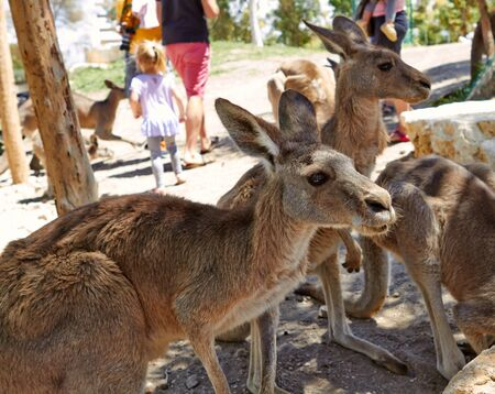 Kangaroo sitting on the ground in the zoological gardens of the north of Israel