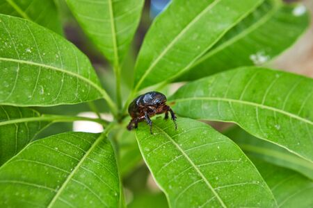 Close-up of an earthen dung beetle on green foliage on a bright sunny day.