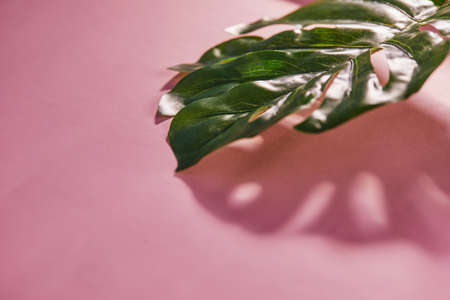 Tropical Monstera leaves with shadow on a pink background. Flat lay, top view. Selective focus