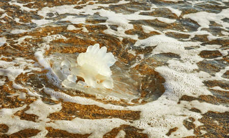 Large white jellyfish lying on the seashore at sunset. Stock fotó