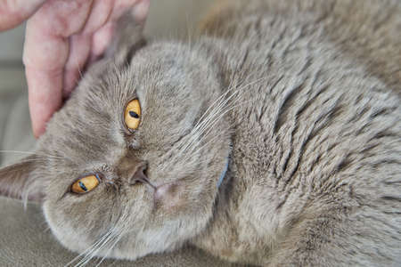 British gray cat lying on the couch being stroked by hand, close-up.