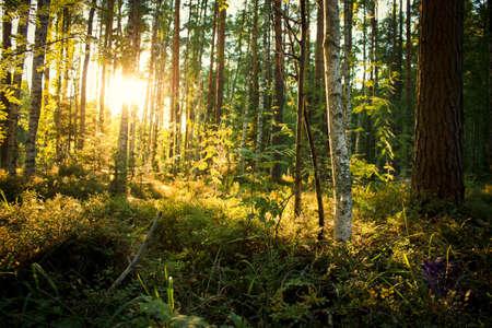 Sonnenuntergang in der Gesamtstruktur Standard-Bild - 65288465