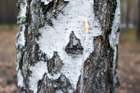 Collecting birch sap Archivio Fotografico