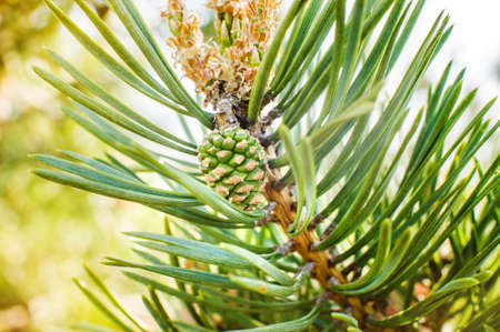 Young green pine cones and young shoots close-up 版權商用圖片