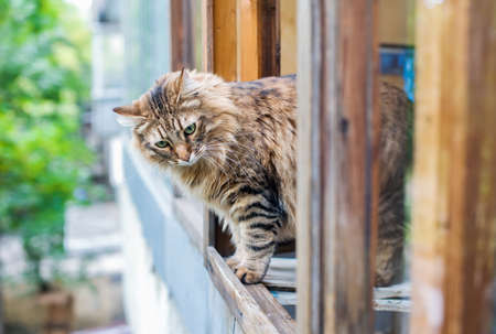 Adult brown cat stands in an open wooden window and looks down Archivio Fotografico