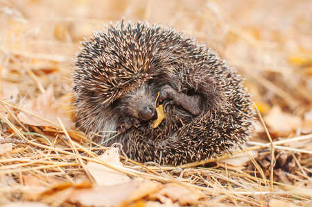 Wild hedgehog in the autumn forest on a background of yellow foliage. Curled up into a ball. Protection. Barbed. Close-up Standard-Bild