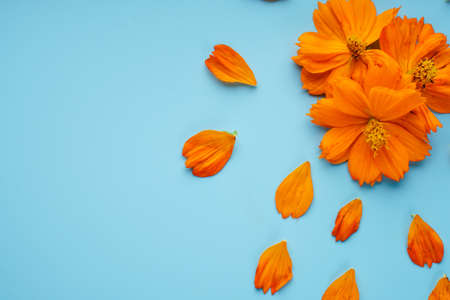 Three orange blossomed buds of the Kosmeya flower and petals scattered around them, on a blue background