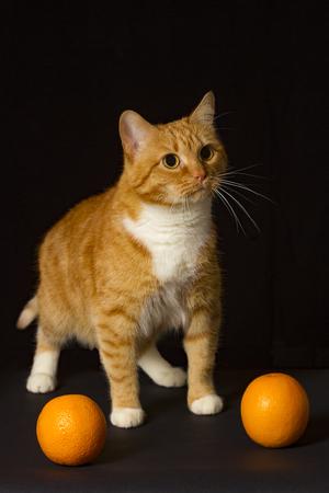 cat with oranges on a black background Banco de Imagens