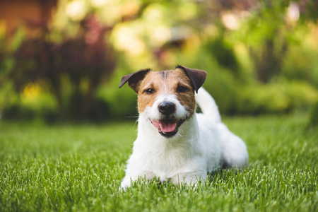 Smiling cute lying dog on a summer green lawn