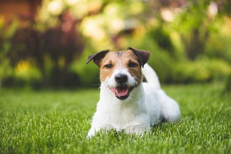 Smiling cute lying dog on a summer green lawn
