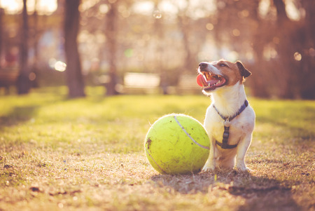 Tired and happy dog sitting with big ball at park Stok Fotoğraf