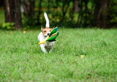 fetching: Working terrier dog training fetching with toy duck