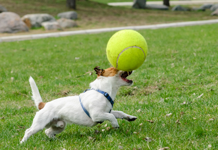 large dog: Terrier dog playing with large toy tennis ball