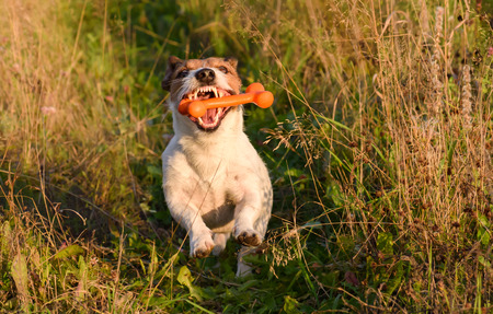 catching: Dog with open jaws and nice teeth catching a bone