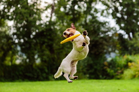 Nice jump by Jack Russell Terrier dog catching flying disk 免版税图像 - 55938934